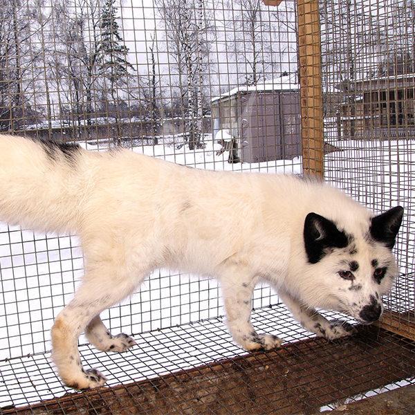 Fox (Snowy)