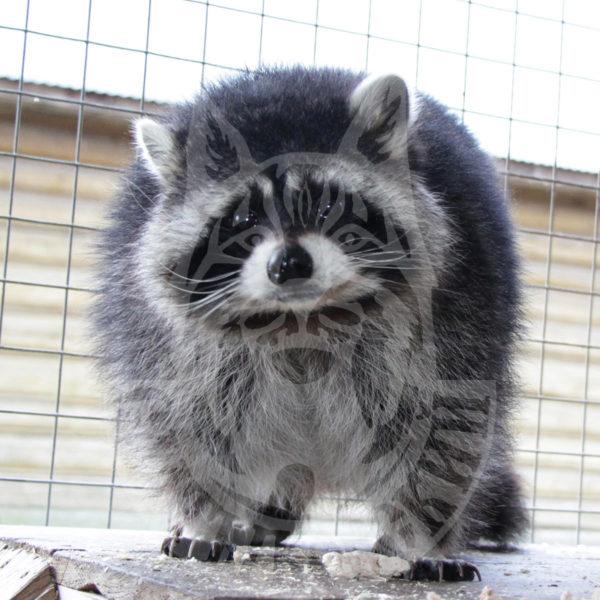 Ragged raccoon