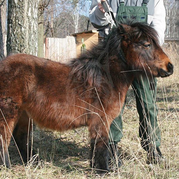 The Shetland Ponies