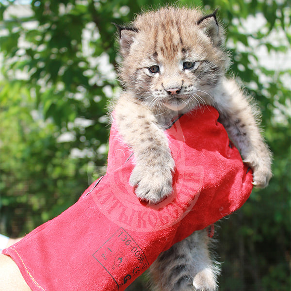 Lynx up to 3 months