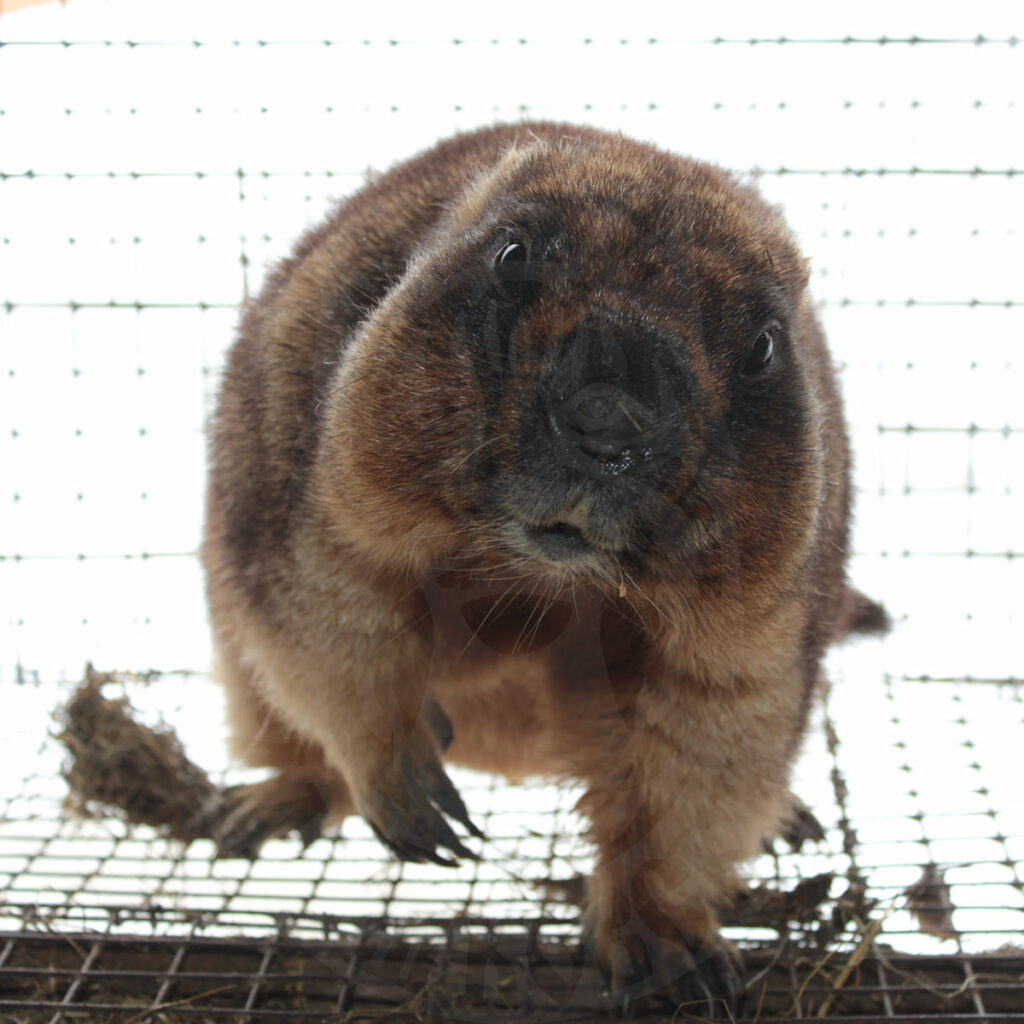 Have you wanted to buy a groundhog for a long time? Hurry up and do it before the cold weather, before the animals go into hibernation
