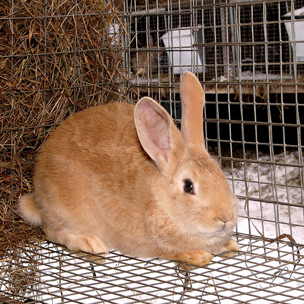 Selling young rabbit