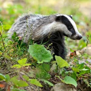 Badger: new item in the catalog of Saltykovsky Fur Farm