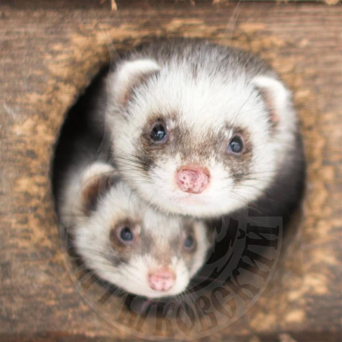 Selling young ferrets