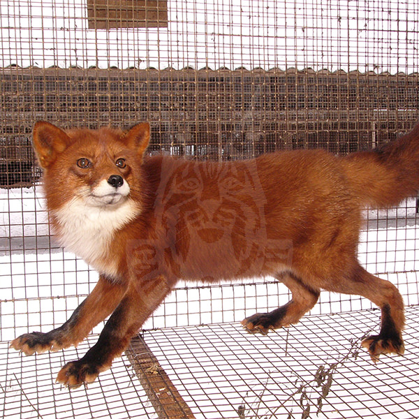 Sale of young fox
