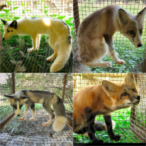 Sale of young foxes