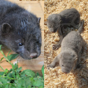 Sale of young minks