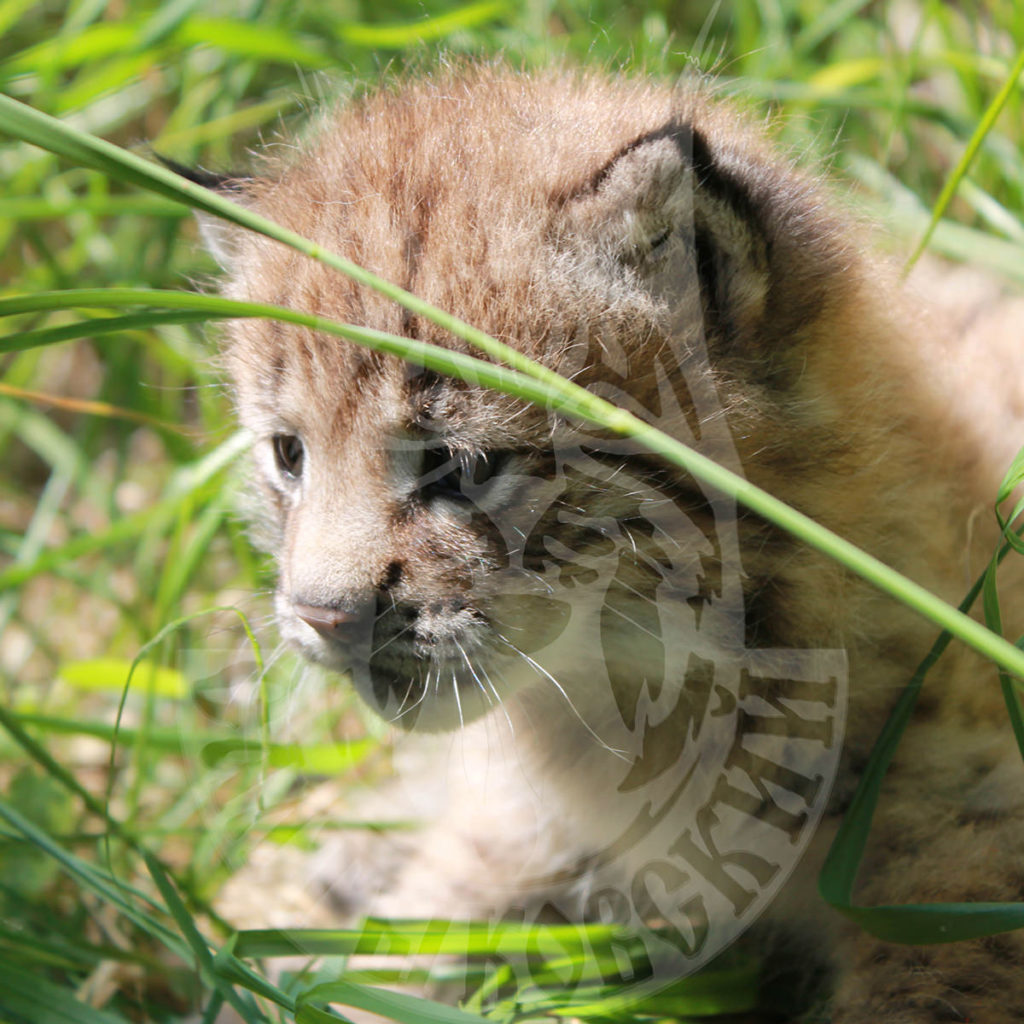 Sale of young lynx