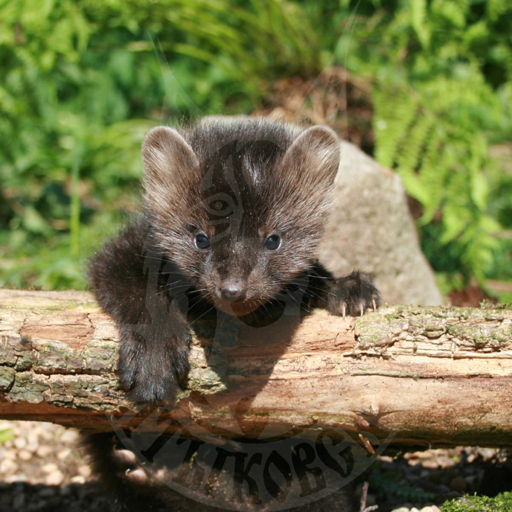 Sale of young sable cubs